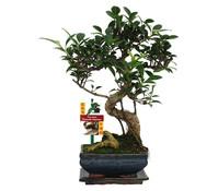 Bonsai Chinesischer Feigenbaum, ca. 22 cm