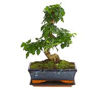 Bonsai - Chinesischer Liguster, 10 Jahre