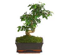 Bonsai - Chinesischer Liguster, 8 Jahre