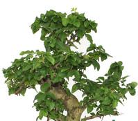 Bonsai Chinesischer Liguster, ca. 25 - 30 cm
