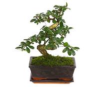 Bonsai - Fukientee, 8 Jahre