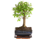 Bonsai, in Keramik, Sortenmix