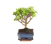 Bonsai, in Keramik, Sortenmix