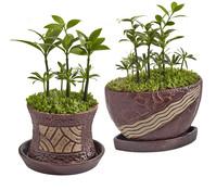 Bonsai 'Little Tahiti', im Topf, 12-15 cm Liefergröße