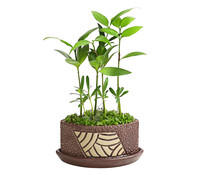 Bonsai 'Little Tahiti', im Topf, 15-20 cm Liefergröße