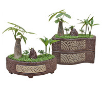 Bonsai 'Little Tahiti', im Topf, 20-25 cm Liefergröße