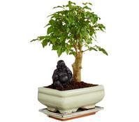 Bonsai mit Buddha, Sortenmix
