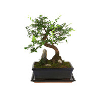 Bonsai mit Fels in Keramik
