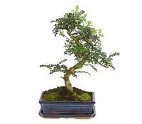 Bonsai - Szechuan-Pfeffer, 10 Jahre