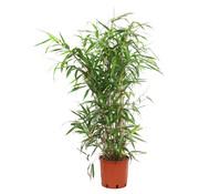 Breitblatt-Bambus