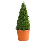 Buchs - Gewöhnlicher Buchsbaum, Kegel