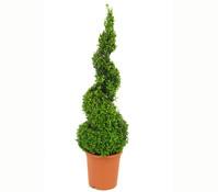 Buchs - Gewöhnlicher Buchsbaum, Spirale