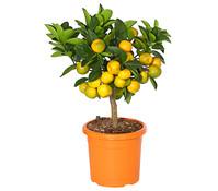 Calamondin-Orange, Stämmchen