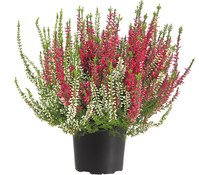 Calluna - Knospenheide, 'Twin-Girls®'