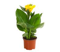 Canna - Indisches Blumenrohr