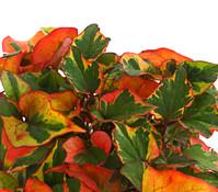 Chamäleonpflanze - Buntblatt - Eidechsenschwanz
