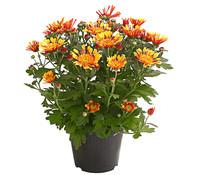 Chrysantheme 'Embera'