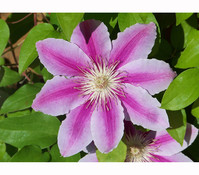 Clematis 'Angela' - Waldrebe