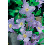 Clematis 'Blue Angel' – Waldrebe