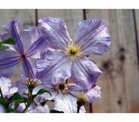 Clematis 'Blue Angel' – Waldrebe