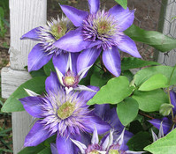 Clematis 'Multi Blue' - Waldrebe