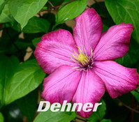Clematis - Waldrebe, rot