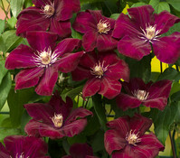 Clematis - Waldrebe