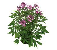 Cleome - Spinnenpflanze Senorita Rosalita