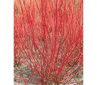 Cornus-Bund, rot, 80 - 100 cm