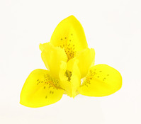 Danford-Schwertlilie, gelb