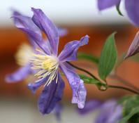Dehner Alpen-Waldrebe - Clematis, violett