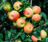 Dehner Apfel 'Alkmene'