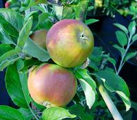 Dehner Apfel 'Cox Orange'