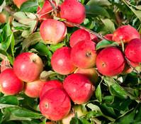 Dehner Apfel 'Elstar'