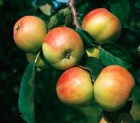 Dehner Apfel 'Gravensteiner'