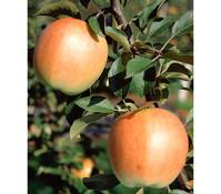Dehner Apfel 'Rebella'