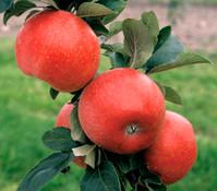 Dehner Apfel 'Reglindis'