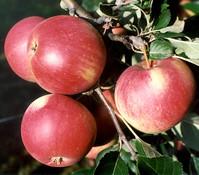 Dehner Apfel 'Roter James Grieve'