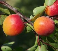 Dehner Aprikose 'Orangered'