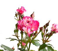 Dehner Beetrose 'Flower Rain®'