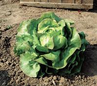 Dehner Bio Kopfsalat, lausresistent, 12er Schale