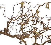 Dehner Bio Korkenzieherhasel, natur