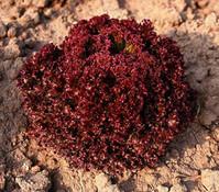 Dehner Bio Pflücksalat Lollo Rosso, 12er Schale