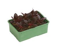 Dehner Bio Salat 'Salanova' rot, 12er Schale