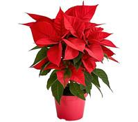 Dehner Bio Weihnachtsstern