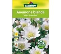 Dehner Blumenzwiebel Anemone Blanda 'White Splendour'