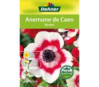 Dehner Blumenzwiebel Anemone De Caen 'Bicolor'