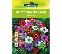 Dehner Blumenzwiebel Anemone De Caen 'Mischung'