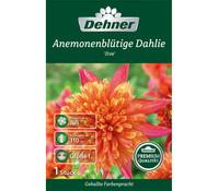 Dehner Blumenzwiebel Anemonenblütige Dahlie 'Jive'