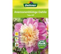 Dehner Blumenzwiebel Anemonenblütige Dahlie 'Take Off'